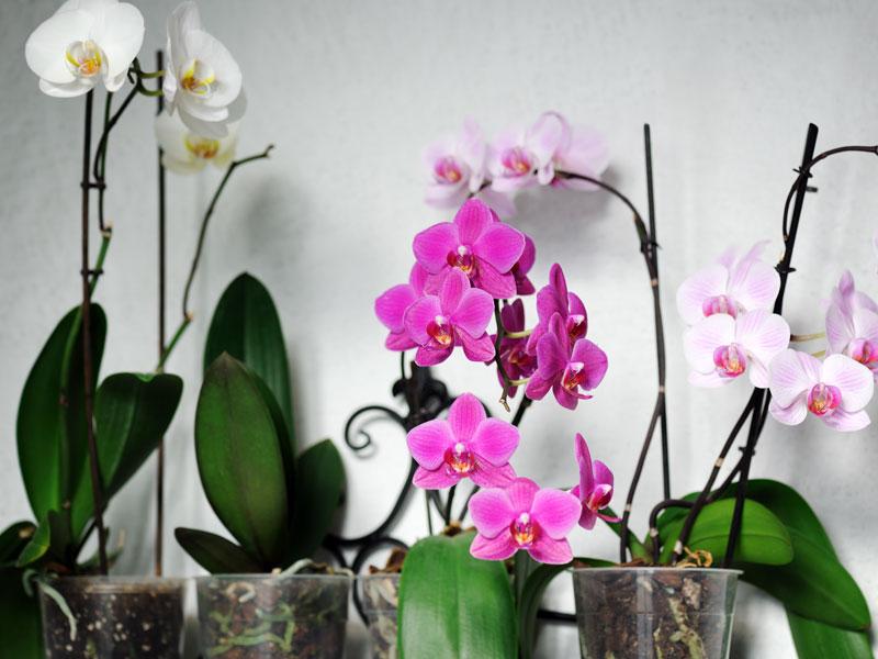 Dostali ste orchideu