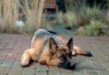 Pes zavýja a šteká