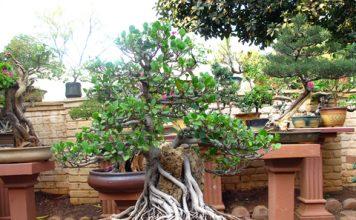 svet bonsajov