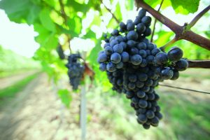 13_Grapes_by_Carnuntum