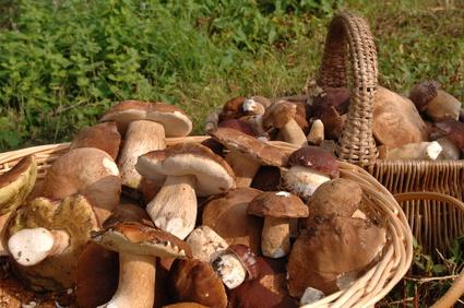 8c6627102 Viete ktoré huby zbierať?