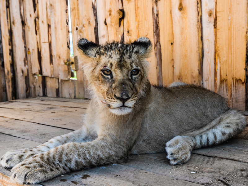 zoo-kontakt_tigrik