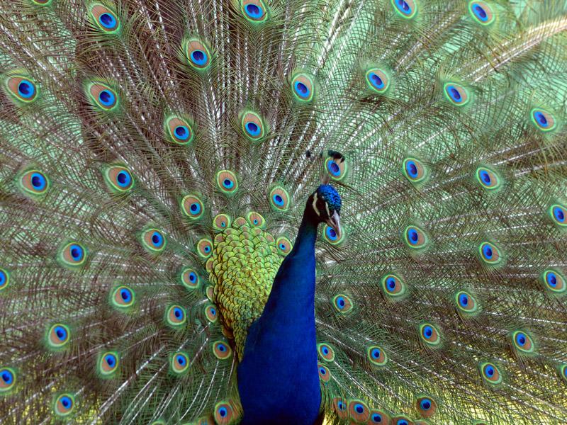 800_Peacock2