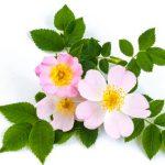 s divokými ružami