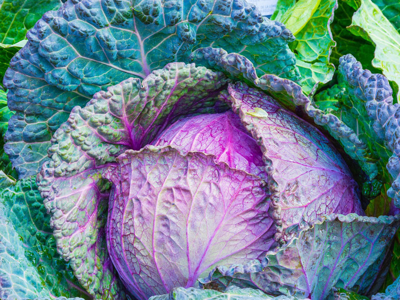 800_cabbage-1078163_1920