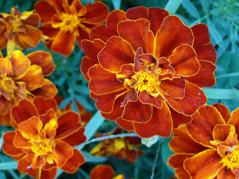 aksametnice, kvety