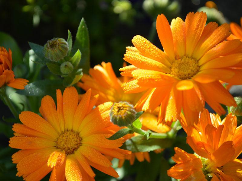 nechtik, kvety