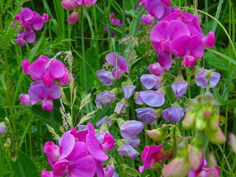 hrachor, kvety