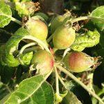 Prečo je potrebné robiť prebierku plodov? Radí profesor Hričovský