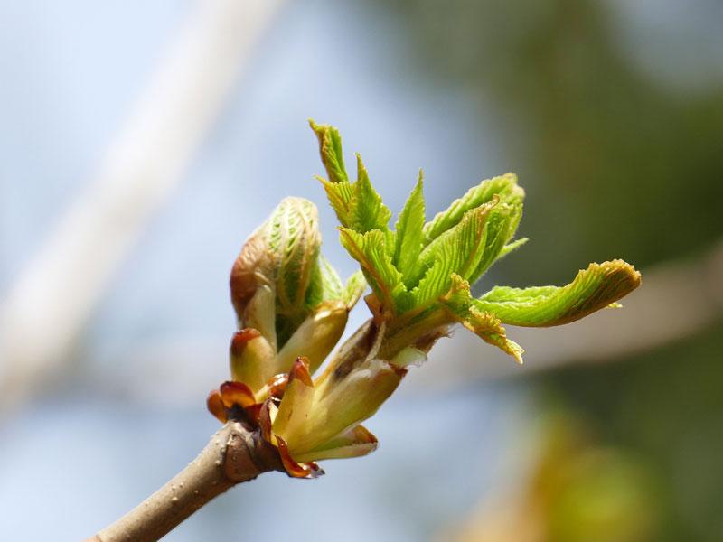 Chestnut Bud alebo Pagaštan konský