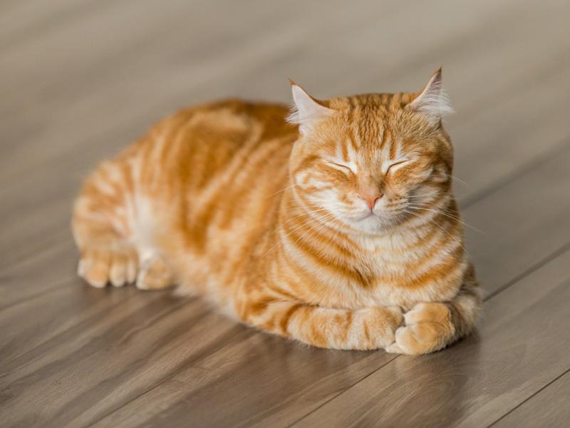 hrdzavá mačka