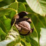 Aké orechy je vhodné pestovať a ako sa o ne starať? Radí profesor Hričovský