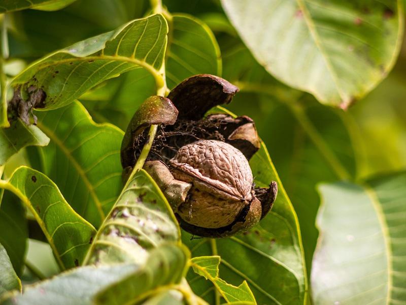 Aké orechy je vhodné pestovať