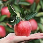 Viete, ako pestovať jablone?