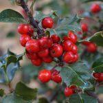 Holly alebo Cezmína ostrolistá