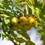 Oskoruša,vzácny ovocný druh. Radí profesor Hričovský