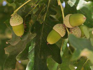 Oak alebo Dub letný