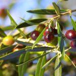 Olive alebo Oliva európska