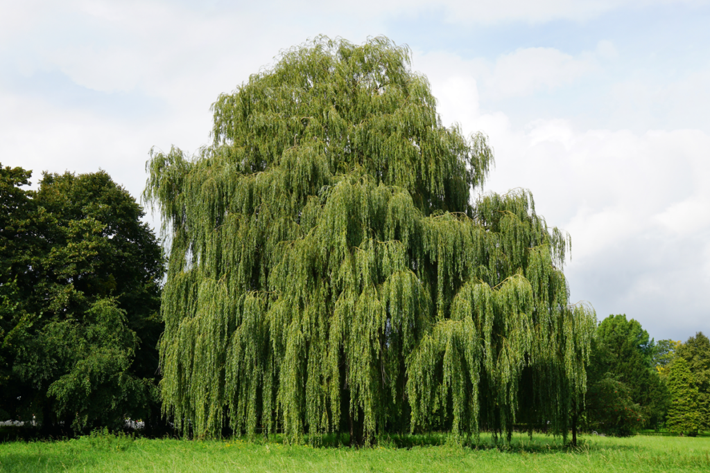 Willow alebo Žltá vŕba